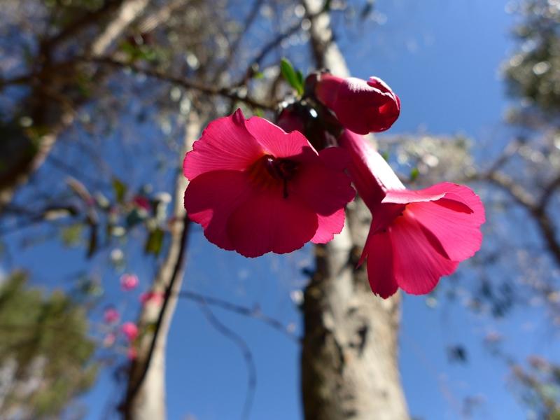 Cantuta, fleur des Incas